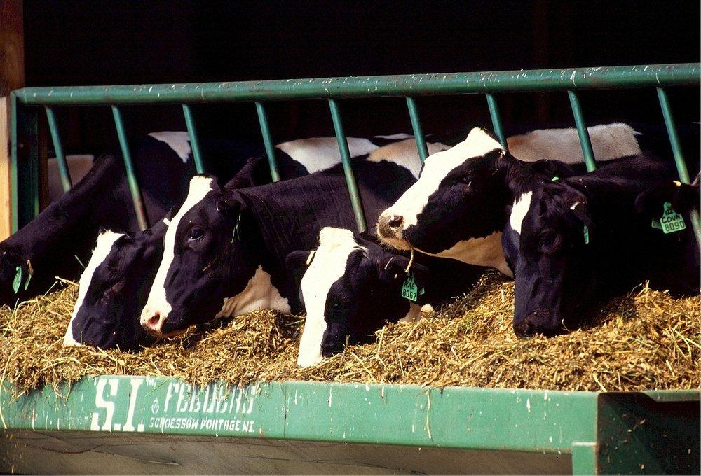 vergisting koeien